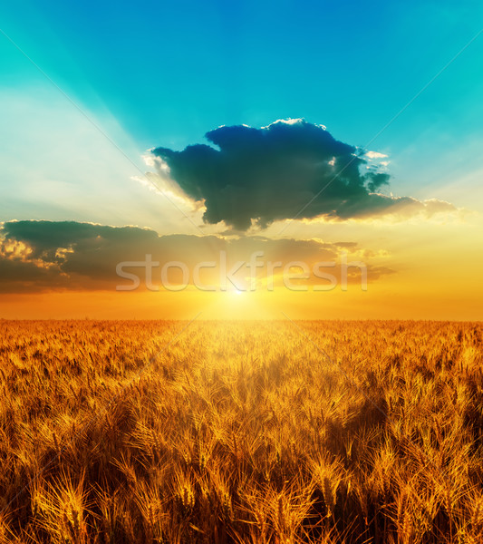 good sunset with dramatic sky over golden color field with harve Stock photo © mycola
