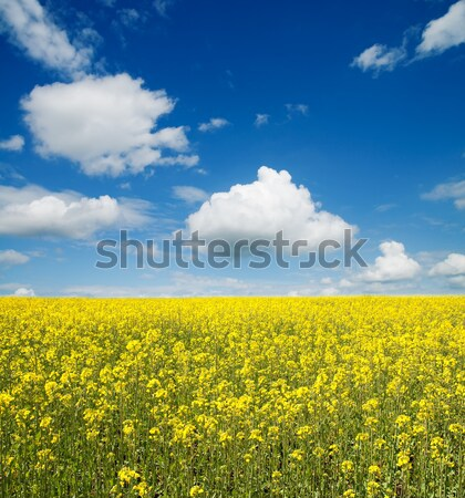 flower of oil rapeseed in field with blue sky and clouds Stock photo © mycola