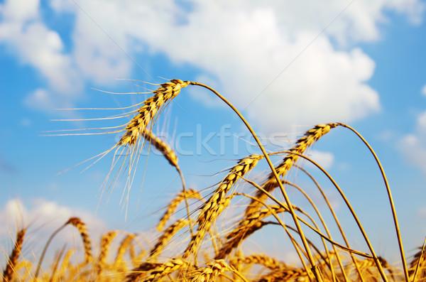 Campo ouro orelhas trigo pôr do sol céu Foto stock © mycola