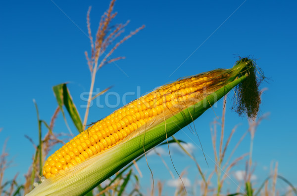 fresh raw corn on the cob with husk Stock photo © mycola