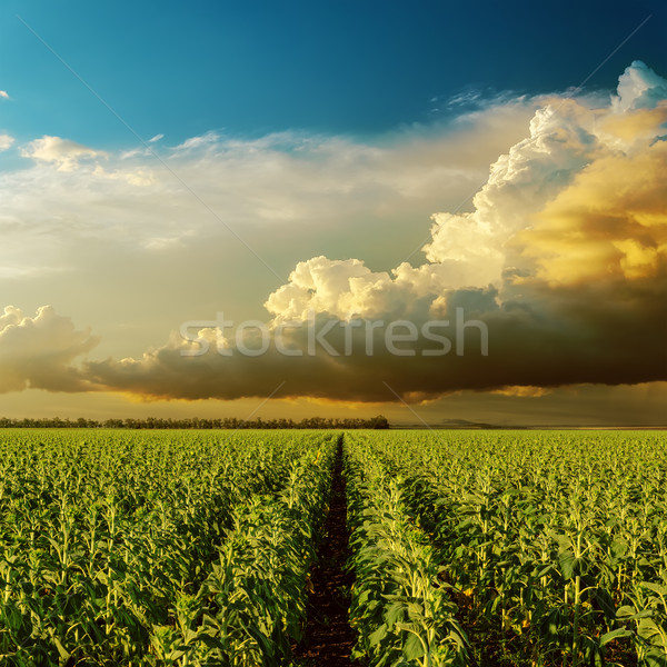 Nublado pôr do sol campo girassóis primavera grama Foto stock © mycola