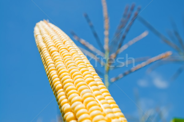 fresh maize under deep blue sky Stock photo © mycola