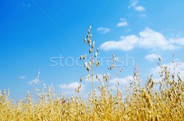 oats closeup under cloudy sky Stock photo © mycola
