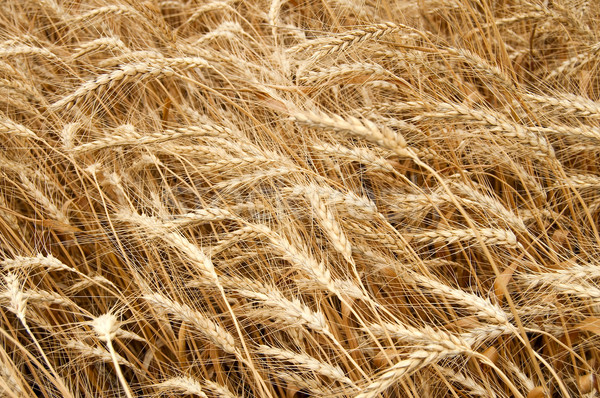 Amarillo grano listo cosecha sur Ucrania Foto stock © mycola