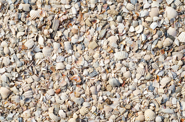 pieses of sea shells Stock photo © mycola