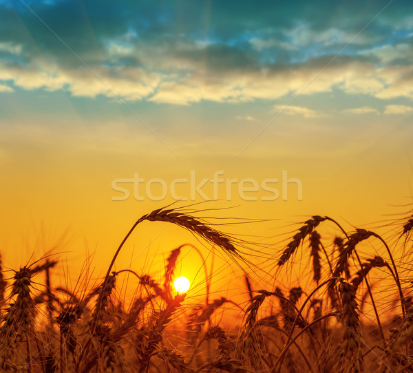 field with harvest at sunset Stock photo © mycola