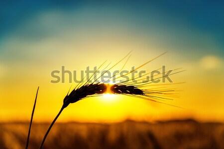 日没 麦畑 太陽 自然 光 ストックフォト © mycola