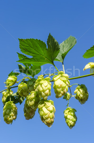 Stock photo: branch of green hops