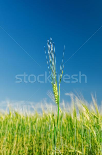 зеленый ячмень Blue Sky мягкой Focus небе Сток-фото © mycola