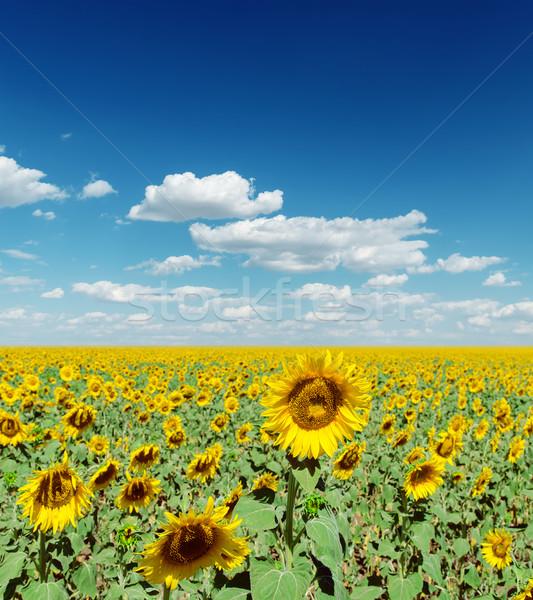 Veld zonnebloemen diep Blauw sluw Stockfoto © mycola