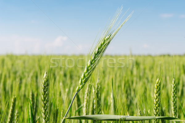 green spikelet over field Stock photo © mycola