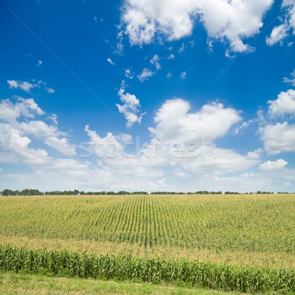 green maize field Stock photo © mycola