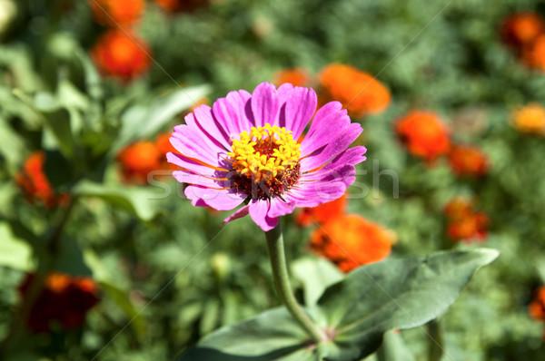 Rosa flores primavera natureza projeto verão Foto stock © mycola