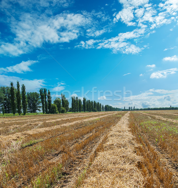 collected harvest in windrows under cloudy sky Stock photo © mycola