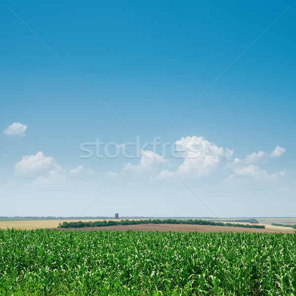 field with green maize and blue sky Stock photo © mycola