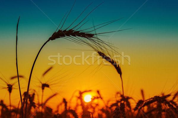 golden sunset and silhouettes of harvest Stock photo © mycola