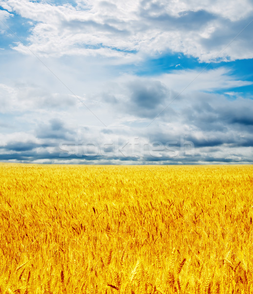 golden field under dramatic sky Stock photo © mycola