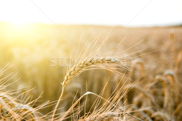 ears of ripe wheat on a background a sun Stock photo © mycola