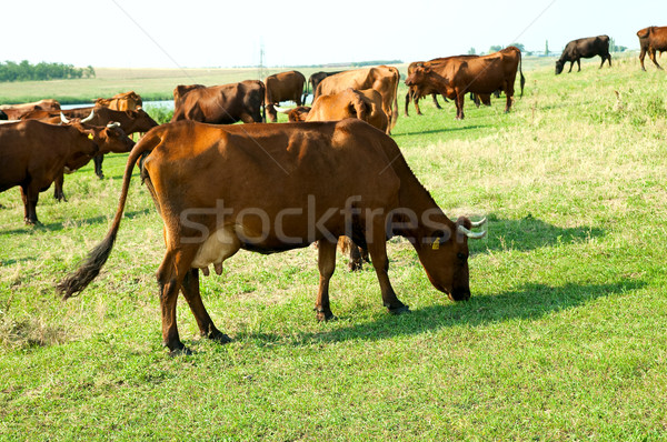 red steppe cows on a pasture Stock photo © mycola