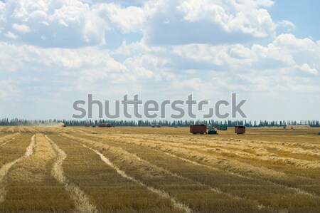 summer field after harvesting Stock photo © mycola