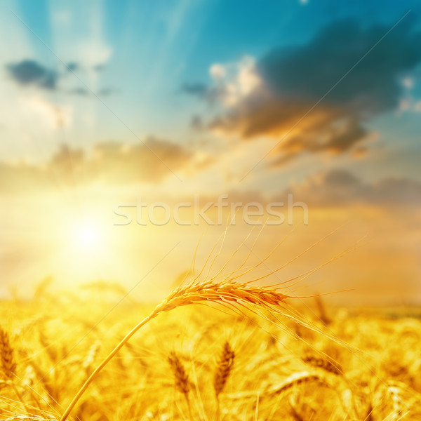 harvest field and sunset Stock photo © mycola