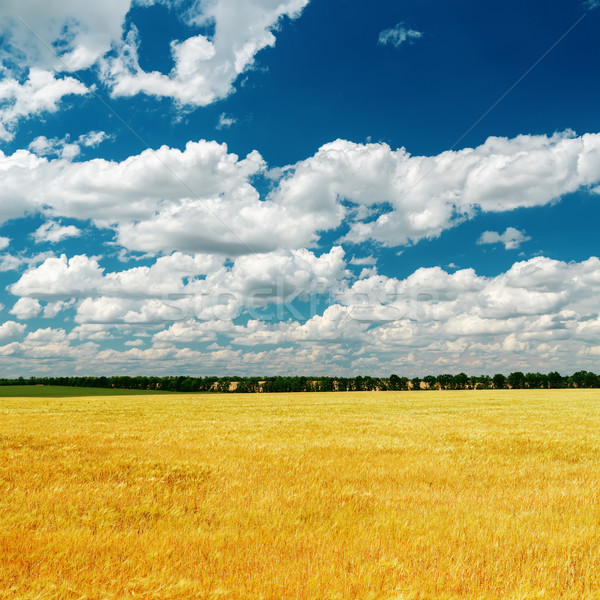 blue dramatic sky over golden field Stock photo © mycola