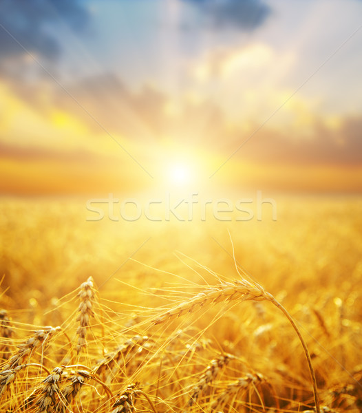 golden wheat field and sunset.soft focus on bottom Stock photo © mycola