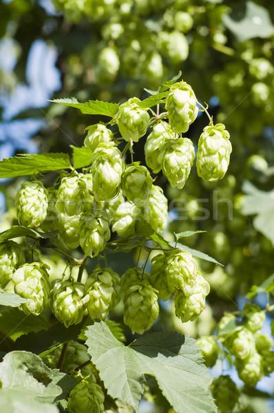 Stock photo: green hops