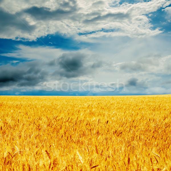 dramatic sky and golden barley Stock photo © mycola