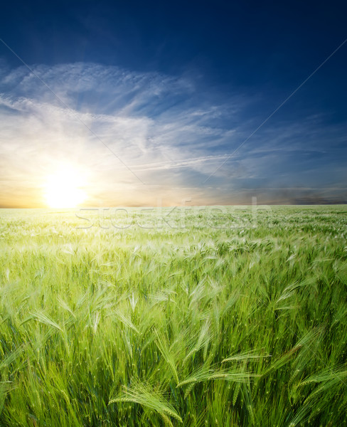green wheat in field under sunrays Stock photo © mycola