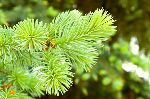 close-up of pine branches Stock photo © mycola