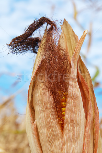 corn field at harvest time Stock photo © mycola