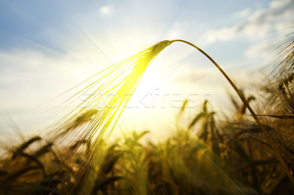 Сток-фото: закат · области · лет · ушки · пшеницы · солнце