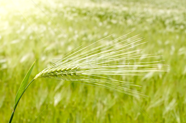 Ouvido verde trigo sol primavera grama Foto stock © mycola
