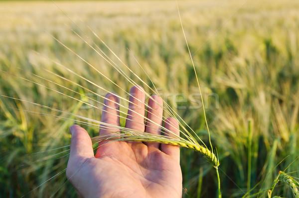 Verde grano mano primavera natura pane Foto d'archivio © mycola