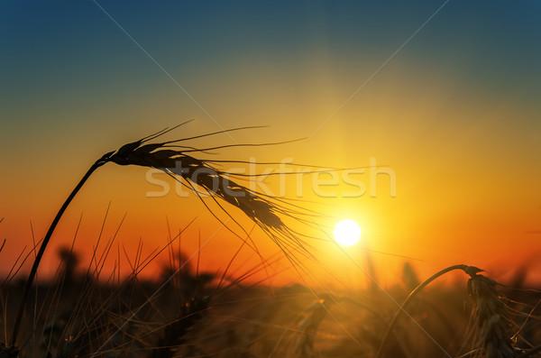 nice sun over harvest field Stock photo © mycola