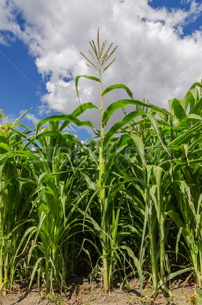 green maize in field Stock photo © mycola