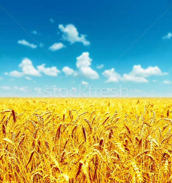 Dziedzinie złoty pszenicy mętny niebo krajobraz Zdjęcia stock © mycola