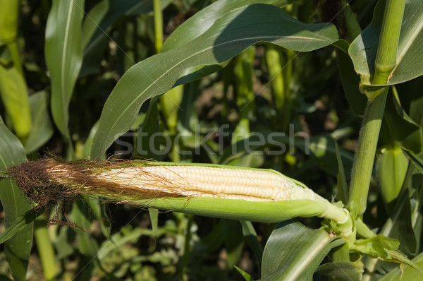 raw corn on the cob with husk Stock photo © mycola