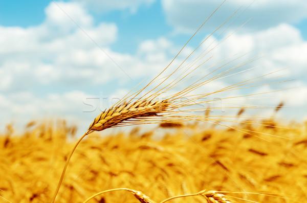 rip ear of wheat on field Stock photo © mycola