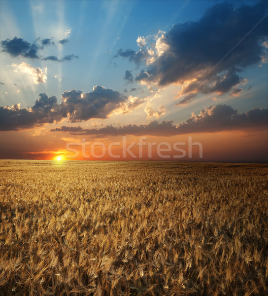 field of wheat in sunset time Stock photo © mycola
