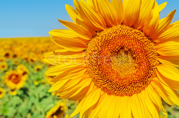 part of sunflower closeup in field Stock photo © mycola