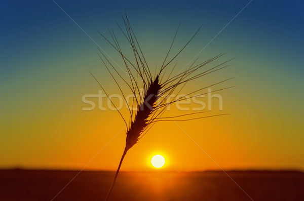 Stock photo: orange sunset and wheat ear on field