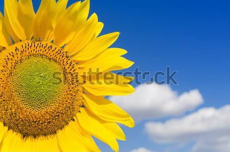 Sarı ayçiçeği açık gökyüzü gökyüzü çiçek doğa Stok fotoğraf © mycola