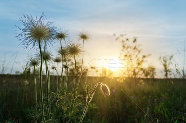 Gün batımı çayır çiçekler bahar çim soyut Stok fotoğraf © mycola