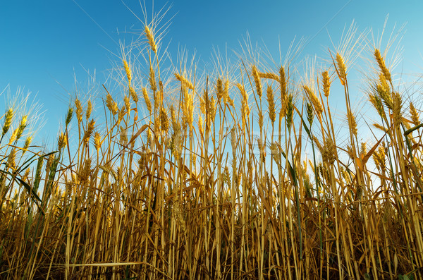 Golden Ernte Bereich Himmel Landschaft Sommer Stock foto © mycola
