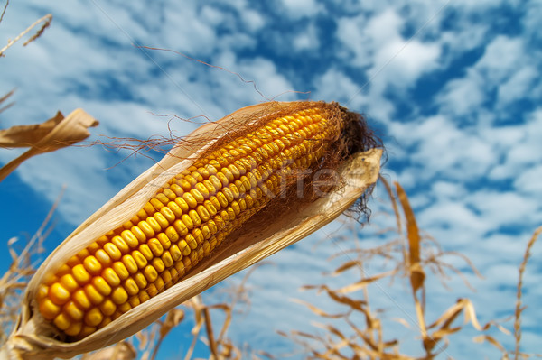 ripe maize on a field under clouds Stock photo © mycola