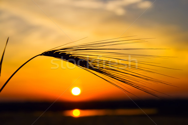 golden sunset with reflection in water and wheat Stock photo © mycola
