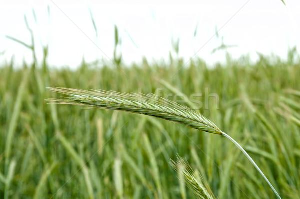 Yeşil kulak çavdar odak gıda çim Stok fotoğraf © mycola