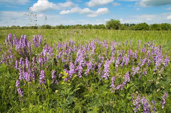 Flores silvestres campo céu grama fundo verão Foto stock © mycola